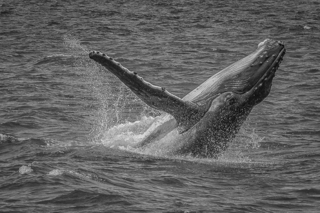 Hervey Bay - Whale Watching